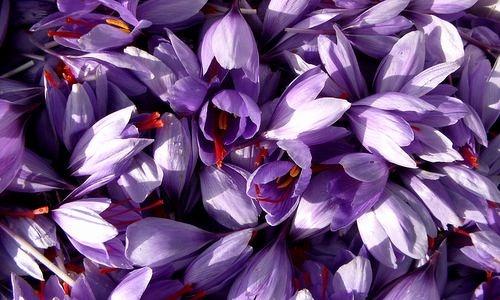fleurs-safran-bio-la-safranette