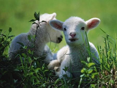 Les agneaux de Vialavert