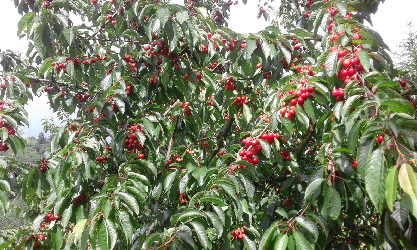 Vieules fruits de montagne