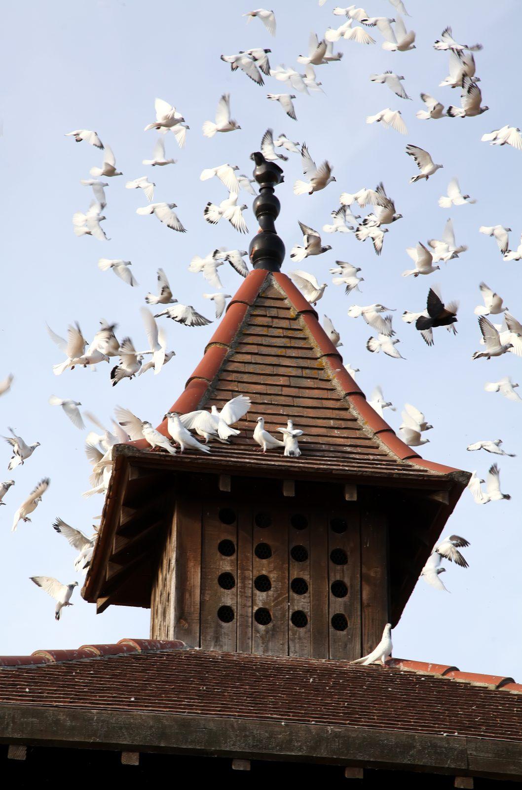 Les Pigeons du Mont Royal