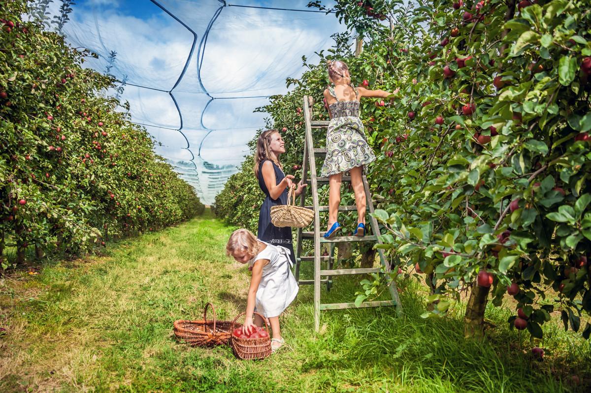 Cueillette fruits au verger